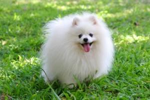 Pomeranian_5246a045b4976