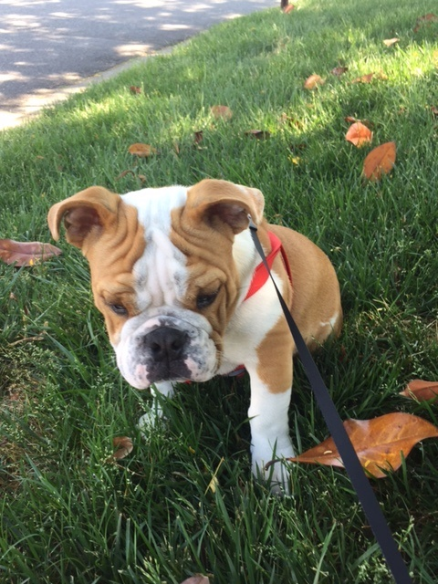 A Life Lesson I Learned From Champ The Bulldog